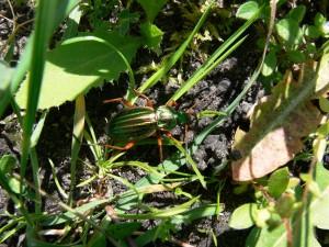 Goldlaufkaefer-Carabus-auratus