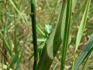 Gruenes-Heupferd-Tettigonia-viridissima